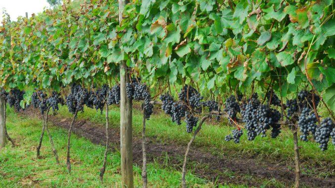 Evento aguardado o ano todo especialmente pelos apaixonados pelo vinho, a festa da colheita da uva (Vindima) daAbreu Garciaabre neste sábado com receptivo e almoço harmonizado na sede da vinícola, em Campo Belo do Sul.